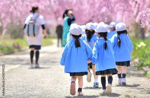 Fototapeta 春・桜・散歩の園児 obraz