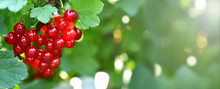 Banner. Red Currant. A Bunch O...