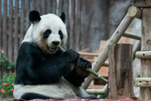 Giant Panda Eats Bamboo In The...