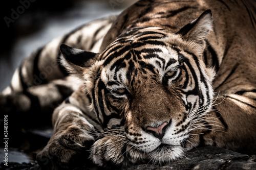 ranthambore wild male bengal tiger extreme close up Fine art image or portrait at ranthambore national park or tiger reserve, rajasthan, india - panthera tigris