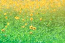 Blooming Sulfur Cosmos Flower At Field In Spring Or Summer, Yellow Green Floral Background