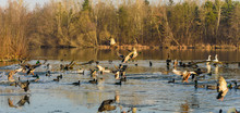 Group Of Ducks Landing On Froz...