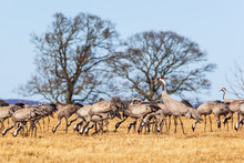Flock Of Cranes On A Field