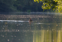 Roe Deer Swimming In The Drava...