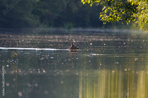 Fototapeta  Roe deer swimming in the Drava River during the flood
