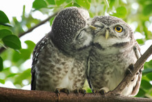 Spot Owl  Smelling Each Other On A Branch