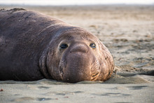 Close Up Of Male Elephant Seal...