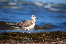Beautiful Young Seagull