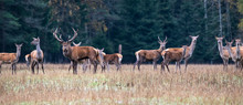 Autumn Idyll. A Large Herd Of Deer Resting At The Edge Of The Fores