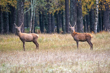 Two Young Male Deer Flaunt On ...