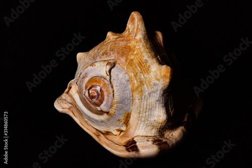 especie de concha marinha do oceano Tricornis raninus Tapéta, Fotótapéta