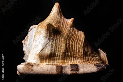 Fototapeta  especie de concha marinha do oceano Tricornis raninus