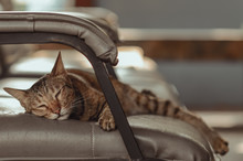 Adorable Brown Color Domestic Cat Sleeping Alone On Sofa.
