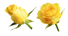 Set Of Yellow Rose Flowers