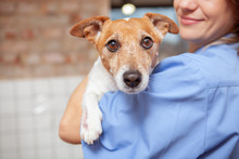 Close Up Of A Cute Funny Jack Russel Terrier In The Arms Of A Female Veterinarian Doctor. Healthy Pets, Profession Concept