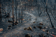 Australian Bushfire Aftermath: Burnt Eucalyptus Trees Suffered From Firestorm