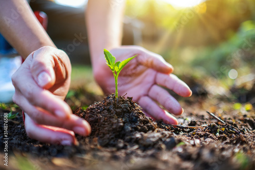 Fototapeta Closeup image of people holding and planting a small tree on pile of soil obraz