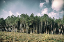 Pine Tree Forest With Clear Bl...