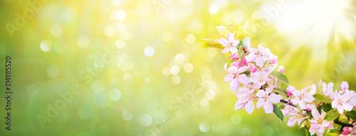 Fototapeta Spring apple blossoms