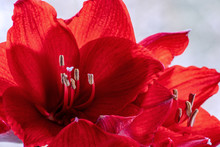 Close Up Of Red Amaryllis (hip...