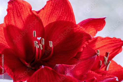 Photo Close up of red amaryllis (hippeastrum)  flowers
