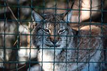Leopard, Big Spotted Cat Licki...