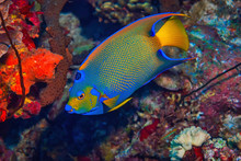 Queen Angel Fish Swimming Over Coral