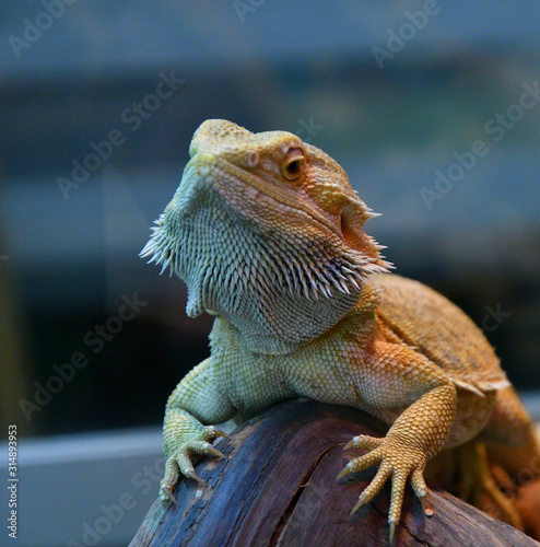 Photo Bearded agama (Lat. Pogona barbata)