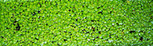 Background Of Rectangular Shallow Duckweed Leaves Covering The Surface Of The Water