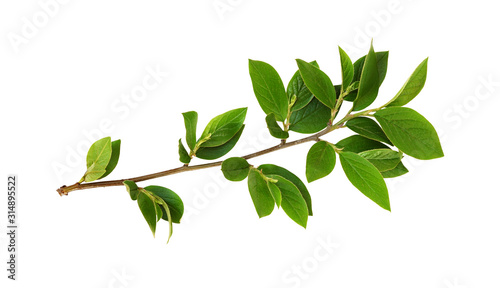 Fototapeta Spring twig with green leaves obraz na płótnie