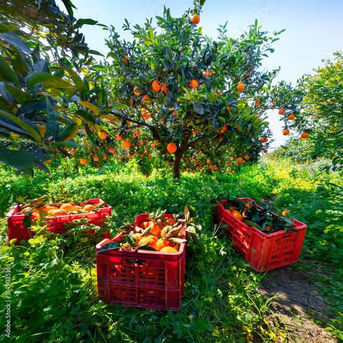 Harvesting oranges in Sicily, Italy Fototapet