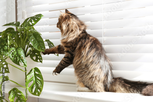 Fototapety, obrazy: Adorable cat playing with houseplant on window sill at home