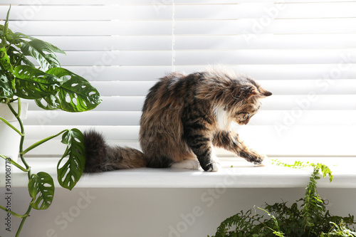 Fototapeta Adorable cat and houseplants on window sill at home obraz