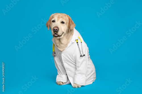 Cute Labrador dog in uniform with stethoscope as veterinarian on light blue b...