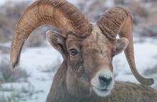 Bighorn Sheep Ram Portrait In ...