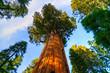 Leinwanddruck Bild - Sequoia National Park, California, USA