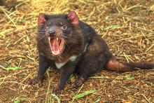 The Shrill Scream Of Tasmanian...