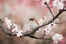 Eurasian Tree Sparrow On Plum(ume) Blossom Tree