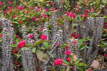 Thorny Stalks Of Flowering Euphorbia