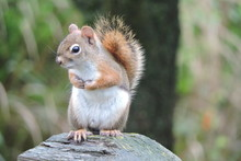 Red Squirrel On Fence