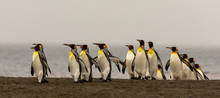 King Penguins Emerging On A Be...