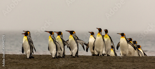 Obraz King Penguins emerging on a beach in South Georgia - fototapety do salonu