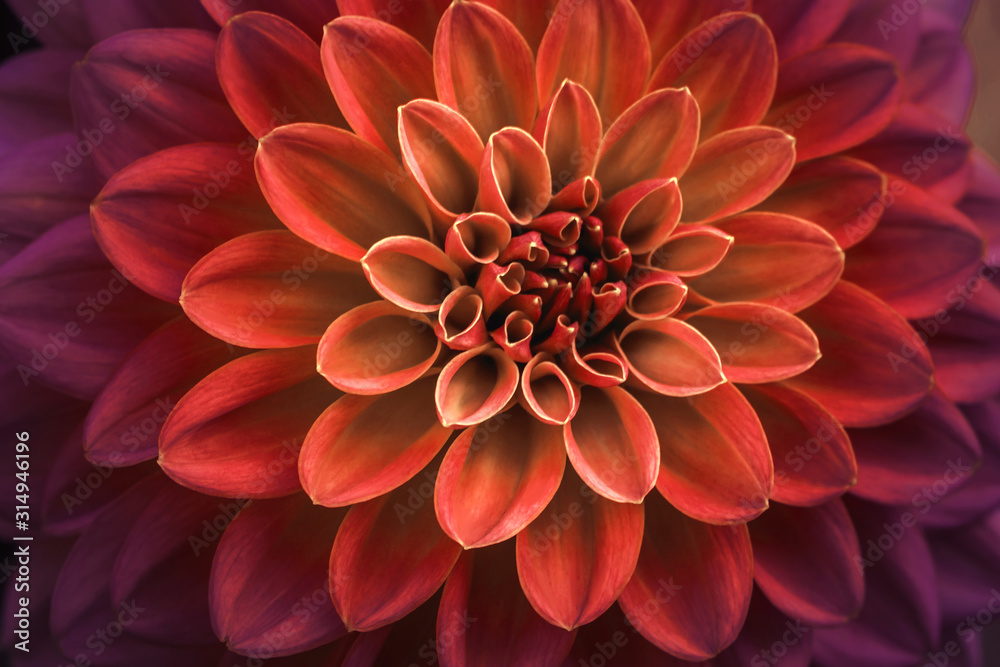 Fototapeta Pink and purple dahlia petals macro, floral abstract background. Close up of flower dahlia for background, Soft focus.
