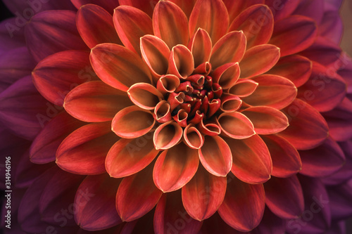 Valokuvatapetti Pink and purple dahlia petals macro, floral abstract background