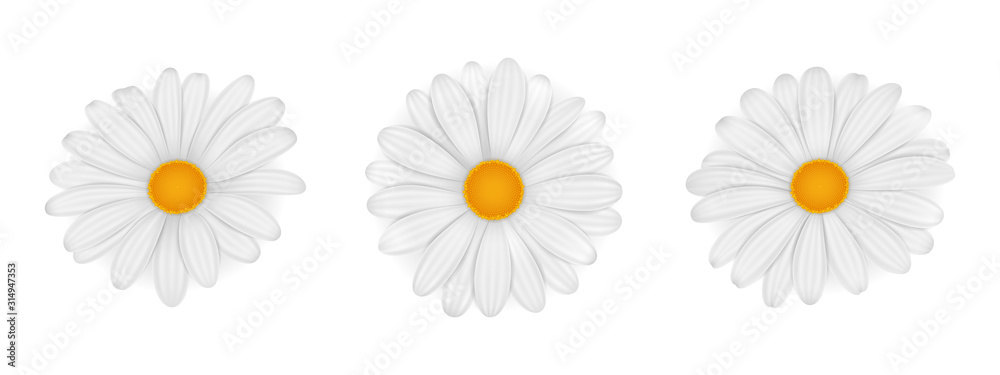 Fototapeta Chamomile. Daisy. Vector realistic flowers isolated on white background.