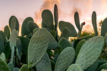 Kaktus teksaške opuncije sa zelenim voćem s pozadinom zalaska sunca