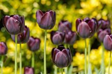 Dark Purple-black, Queen Of The Night, Tulips