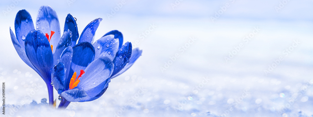 Fototapeta Crocuses - blooming blue flowers making their way from under the snow in early spring, closeup with space for text, banner