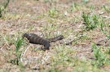 Death Adder Snake, Australia