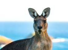 Friendly Kangaroo, Australia